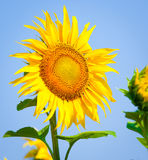 Beautiful sunflower close up Stock Photography