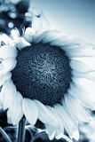 Beautiful sunflower close up Stock Images
