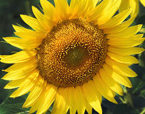 Beautiful sunflower Royalty Free Stock Photography