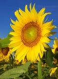 Beautiful sunflower closeup Stock Photo