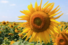 Beautiful sunflower closeup Stock Photography