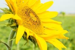 Beautiful sunflower closeup on a background Fields Stock Photo