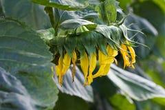 Beautiful sunflower closeup Stock Photography