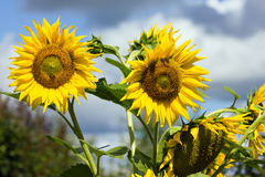 Beautiful sunflower closeup Royalty Free Stock Photos