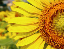 Beautiful sunflower. Closeup at the circle beautiful sunflower Royalty Free Stock Photo