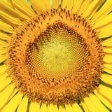 Beautiful sunflower closeup detail Stock Photo