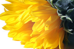 Beautiful sunflower closeup Stock Photo