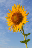 Beautiful sunflower. With cloud and blue sky Royalty Free Stock Photos