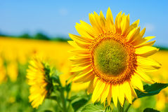 Beautiful sunflower field Stock Photo