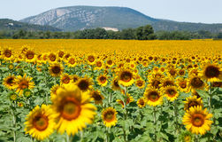 Beautiful sunflower field Stock Images