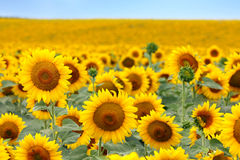 Beautiful sunflower field royalty free stock photos