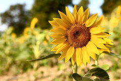 Beautiful sunflower in the field. Defoucused background Royalty Free Stock Images