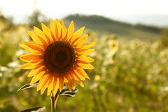 Beautiful sunflower in the field. Defoucused background Royalty Free Stock Photography