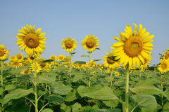 Beautiful sunflower in the field. Royalty Free Stock Image