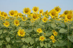 Beautiful sunflower in the field. Stock Photography