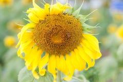 A beautiful sunflower field. Stock Image