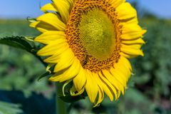 Beautiful sunflower field in the afternoon.  Royalty Free Stock Photography
