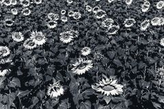 Beautiful sunflower field in the afternoon. Monochrome photo Royalty Free Stock Photo