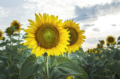 Beautiful sunflower field. Royalty Free Stock Photo