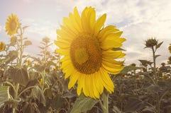 Beautiful sunflower field. Royalty Free Stock Image