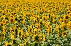 Beautiful sunflower field background. Beautiful Yellow sunflower field background Stock Images