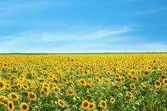 Beautiful sunflower field Stock Photo