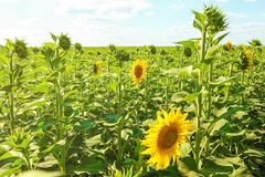 Beautiful sunflower field Royalty Free Stock Image