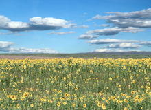 Beautiful sunflower field Royalty Free Stock Images