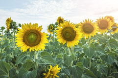 Beautiful sunflower field. Stock Photo