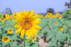 Beautiful sunflower in field Stock Photography