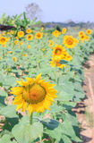 Beautiful sunflower in field Royalty Free Stock Photos