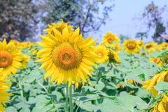 Beautiful sunflower in field Royalty Free Stock Photo