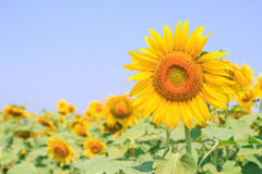 Beautiful sunflower in field Royalty Free Stock Photography