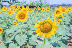 Beautiful sunflower in field Royalty Free Stock Images