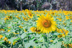 Beautiful sunflower in field Royalty Free Stock Image