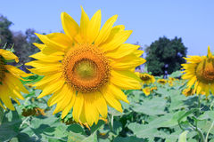 Beautiful sunflower in field Stock Images