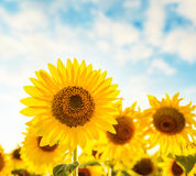 Beautiful sunflower field and blue sky on sunset Royalty Free Stock Photo