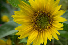Beautiful sunflower at the field. Close up shot Stock Image