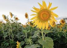 Beautiful sunflower field Royalty Free Stock Photo