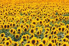 Beautiful sunflower in the field Royalty Free Stock Photography