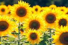 Beautiful sunflower in the field Stock Photos