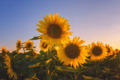 Beautiful sunflower field with lovely yellow flowers in sunset light. Summer concept suitable for wallpaper royalty free stock images