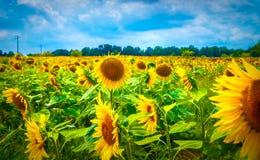 Beautiful sunflower field Stock Images