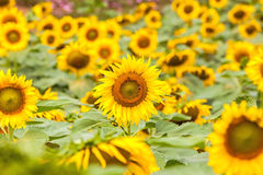 Beautiful sunflower field on natural light,soft focus Stock Images