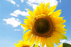 Beautiful sunflower field Stock Photos