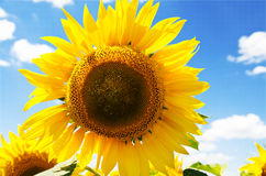 Beautiful sunflower field Royalty Free Stock Image