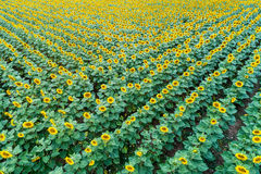 Beautiful sunflower field in  summer Royalty Free Stock Photography