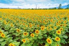 Beautiful sunflower field in  summer Stock Photos