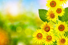 Beautiful sunflower field in summer. Yellow flowers Stock Photos