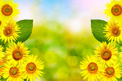 Beautiful sunflower field in summer. Yellow flowers Royalty Free Stock Photo
